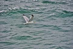 vieni con me ... (miriam ulivi) Tags: sea nature mare seagull francia gabbiano normandia entretat nikond7200 miriamulivi