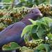 Red-billed Pigeon, Patagioenas flavirostris