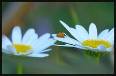 IMG_7403 Crossing the Drawbridge 7-19-16 (arkansas traveler) Tags: ladybug bichos bugs insects flowers shastadaisy daisies nature naturewatcher bokeh bokehlicious telephoto zoom