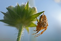Kreuzspinne 1 (DianaFE) Tags: dianafe insekt spinne blume pflanze tiefenschrfe schrfentiefe makro freihandmakro