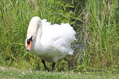 Mute Swan (Cygnus olor) (Gerald (Wayne) Prout) Tags: muteswan cygnusolor animalia chordata aves anseriformes anatidae cygnini cygnus pond cedarmeadowsresortandspa cityoftimmins northernontario canada prout geraldwayneprout canon canoneos60d timmins ontario ontarione cedarmeadows cedar meadows resort spa swans