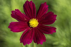 Cosmea (milance1965) Tags: sony sonya55 macro cosmea garten pflanze