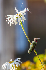 Anna's Hummingbird (Immature Male) (wanderinggrrl) Tags: alamy annashummingbird picofweek shutterstock year4week10 bird daisy feathers garden hummingbird immature male northamerica ornithology perched songbird usa wildlife wing young