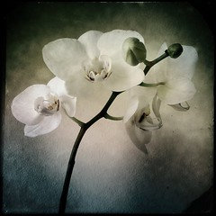 (~ siko sn ~) Tags: orchid flower flowers hipstamatic orchids