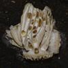 Opera house mushroom Airlie Beach rainforest P1070710 (Steve & Alison1) Tags: opera house mushroom airlie beach rainforest upside down gill white cream 2bid716 helvella sp helvellaceae furry sheep ear fungus gomphus gomphaceae