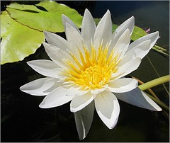 Daylight (Mary Faith.) Tags: flower waterlily white macro nature