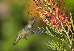 Anna's (Hockey.Lover) Tags: annashummingbird birds myyard grevillea grevilleasuperb backyardbirds explore mybackyard