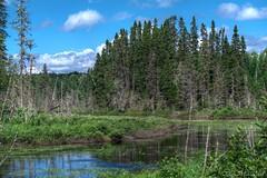 160718-20 tang (clamato39) Tags: clubanowepo provincedequbec latuque qubec canada eau water tang marais marsh nature outside arbre tree wild