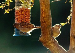Waiting my turn (dlanor smada) Tags: sparrows birds contrejour feeders