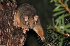 Common Ringtail Possum (Pseudocheirus peregrinus) (Heleioporus) Tags: common ringtail possum pseudocheirus peregrinus south sydney new wales