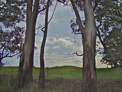 (SusyKeys) Tags: centralvictoria glenlyon gumtrees