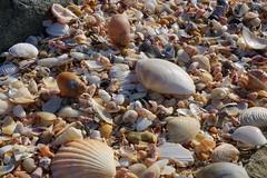 Sea Shells (shinbonerbaz) Tags: sony alpha a57 slt α 18250mm sal18250 minoltaamount sea shellsnarawntapu national park tasmania australia