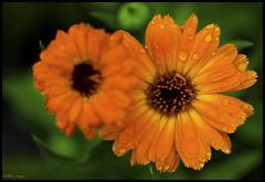 Summer Flowers Raindrops (CallihanImages) Tags: ef100mmf28lmacroisusm ef100mm ef canoneos70d canon70d canon 70d 100mm macro flower bloom blooming raindrop orange rain summer yellow