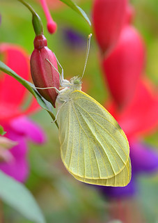 Large White (Pieris brassicae) on Fuchsia