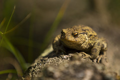 normale Pad / Normal Toad (Explored) (BossAL) Tags: toad pad amsterdam nederland awd