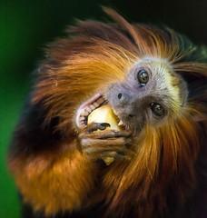 DSC_7494-1 (craigchaddock) Tags: goldenheadedliontamarin leontopithecuschrysomelas parkeraviary sandiegozoo endangeredspecies tamarin endangered lionheadedtamarin iso6400 6400 zoe pn