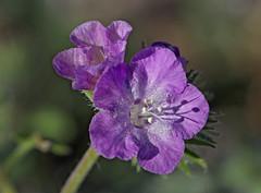 Death Valley Phacelia (Phacelia vallis-mortae) (Ron Wolf) Tags: boraginaceae deathvalleynationalpark deathvalleyphacelia nationalpark phaceliavallismortae desert flower nature wildflower inyocounty california