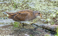 DSC4551  Spotted Crake.. (jefflack Wildlife&Nature) Tags: spottedcrake crakes crake birds avian wildlife wildbirds waterbirds wetlands waterways estuaries sedges riverbirds lakes ponds countryside nature rails marshland marshes slimbridge