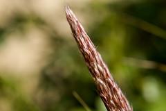 Noch nicht entfalteter China-Schilf-Bltenstand (Miscanthus sinensis) - Not yet unfolded miscanthus inflorescence (riesebusch) Tags: berlin garten marzahn