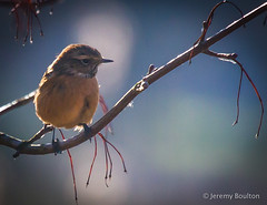 Branching Out (JKmedia) Tags: winter detail tree bird nature closeup canon reeds branch bokeh wildlife small feather sunny exeter twig perch perched february sunlit 13 thirds rspb 2015 stonechat dartsfarm ef100400mmf4556lisusm 13rds canoneos7d boultonphotography