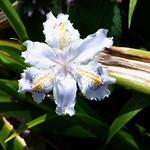 #1028 crested/fringed iris (シャガ・コチョウカ) thumbnail