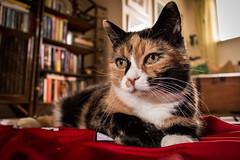 Doris och matchtröjan. (MagnusBengtsson) Tags: pet cat doris katt narbild fotosondag fs150405