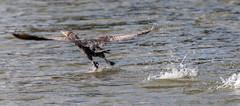04-07-15-000001688.jpg (Lake Worth) Tags: bird nature birds animal animals canon wings florida wildlife feathers wetlands everglades waterbirds southflorida 2xextender sigma120300f28dgoshsmsports