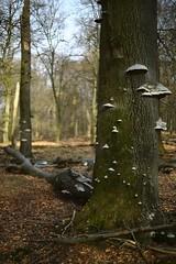 Koninklijke Houtvesterij Het Loo (dvanzuijlekom) Tags: trees mushroom forest bomen woods thenetherlands fungi fungus april paddenstoel bos apeldoorn boletus shelffungus bracketfungus boleet schimmel 2015 hetloo zwam polyporaceae fomesfomentarius n344 crowndomain kroondomein kroondomeinen polyporales tondelzwam tinderfungus crownestate tinderpolypore hooffungus echtetonderzwam royaldomain crownproperty amersfoortseweg kroondomeinhetloo polyporusfomentarius saprofyt canoneos5dmarkiii tinderconk koninklijkehoutvesterijhetloo icemanfungus falsetinderfungus koninklijkehoutvesterij oudedeling