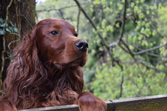 Dog (Frightened Tree) Tags: dog wales aperture nikon f56 llangollen setter wrexham redsetter d3300