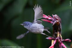(494a) Slaty Flowerpiercer - [ Savegre Resort, Costa Rica ] (tinyfishy's World Birds-In-Flight) Tags: bird flying inflight costarica slaty savegre slatyflowerpiercer flowerpiercer