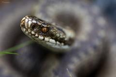 With a fearsome gaze (Normann Photography) Tags: norway viper hordaland matre adder viperaberus huggorm hoggorm masfjorden norwegiannature haugsdalvågen indrehaugsdal
