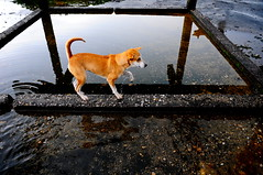 ,, Pumpkin ,, (Jon in Thailand) Tags: roof dog dogs water reflections pumpkin paw nikon little rocky jungle nikkor k9 d300 littlepumpkin 175528 littledoglaughedstories thedogpalace