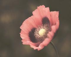 Old Flower (Mrs_Hadfield) Tags: old flower macro nikon bokeh sigma filter treatment 105mm