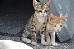 Baby cats in Greece (m.genca) Tags: summer cats animal cat nikon feline europa europe pretty european peace pussy kitty greece grecia gato felino felini marco pace gatto gatti animali animale kot koka cucciolo micio mici 2016 peloponneso micene cuccioli kocka  pusssy genca d7000 michene marcogenca kokovit