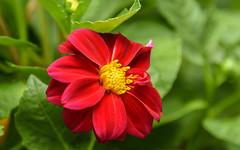 red velvet (Dotsy McCurly) Tags: red velvet dahlia flower plant nature beautiful nikon d750 dof bokeh nj