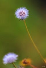 The who (gshaun12) Tags: flower macro green nature bokeh upclose fantasticnature macrodreams