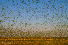 IMG_0262.jpg (Paul Williams www.IronAmmonitePhotography.com) Tags: bird budgerigar summer murmuration dryseason melopsittacusundulatus australia