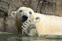 Hi there.. (K.Verhulst) Tags: bear rotterdam blijdorp bears polarbear polarbears ijsbeer blijdorpzoo beren diergaardeblijdorp rotterdamzoo ijsberen