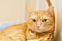 The Eyes (BHiveAsia) Tags: cat cats kitten kitty animal animals pet pets wild life wildlife feline felines nature portrait cute