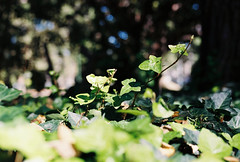 Creeper (Katie Tarpey) Tags: creeper vine green greenery autumn melbourne fitzroygardens nikonfm10 nikkor50mm14 kodak kodakportra400 film 35mm