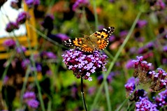 Spring (e.southcott) Tags: still life butterfly sun digital canon nature purple flower