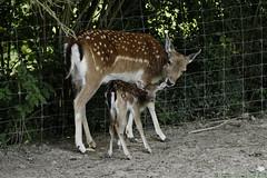Maman et son petit (eminorah) Tags: parcanimalierdesaintecroix daim petitdaim faon cuddle motherly maternel