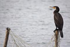 On Watch...... (klythawk) Tags: cormorant phalacrocoracidae post net water summer nature grey orange brown black white olympus em1 omd 100400mm panasonic troutlake colwickpark nottingham