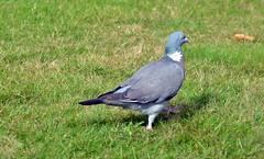 Wood Pigeon  (55) (John Carson Essex) Tags: thegalaxy thegalaxystars rainbowofnature supersix
