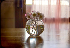 Daisies Reflections ... (MargoLuc) Tags: lighting pink flowers stilllife reflection texture window water kitchen glass backlight daisies table soft vase wildflowers charming delicate skeletalmess