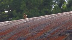 A Partridge (Julia Baverstock) Tags: partridge tinroof farm farmbuildings