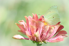 a new guest (simo m.) Tags: flower butterfly softtones pink zinnia insect