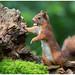 Red+Squirrel+-+Eekhoorn+%28Sciurus+vulgaris%29+.....