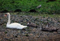 Mute Swan & 3 Cygnets (2) (grahamh1651) Tags: newlyn newlynharbour tolcarne birds seabirds gulls swans waders shorebirds