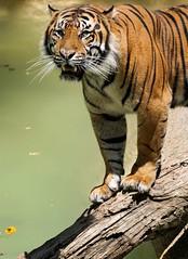 Over the Water (greekgal.esm) Tags: sumatrantiger tiger bigcat cat feline animal mammal carnivore losangeleszoo lazoo losangeles griffithpark california sony a77m2 a77mii sal70300g cj castrojr